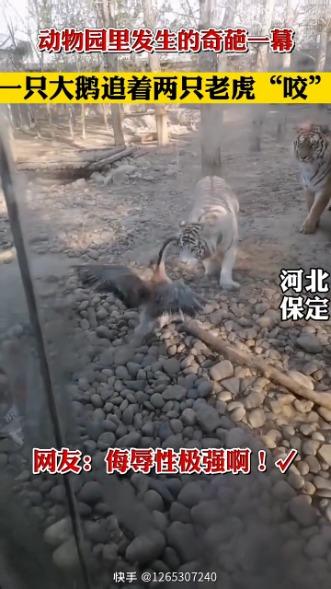 一只大鹅追着两只老虎咬,真是对大虫的侮辱性极强 [s-11]  [s-11]